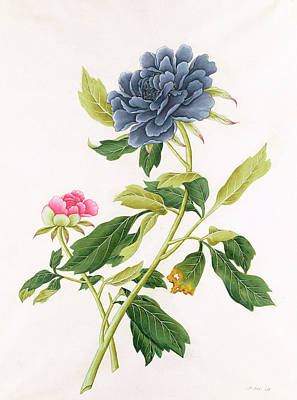 Rose Branch Painting - Peony by Georg Dionysius Ehret