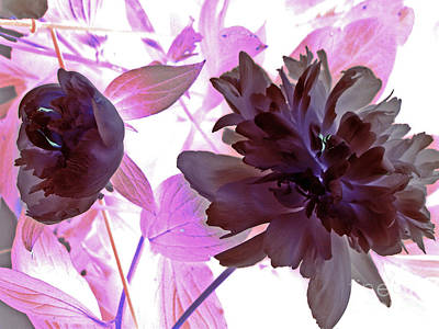 Photograph - Peony In Negative Light by Margie Avellino