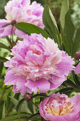 Photograph - Peony Paeonia Sp Mme Emile Debatene by VisionsPictures