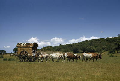 People, Oxen, And Horses Reenact Print by Luis Marden