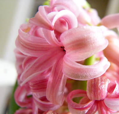 Photograph - Peppermint- Striped Hyacinth Blossom by Carla Parris