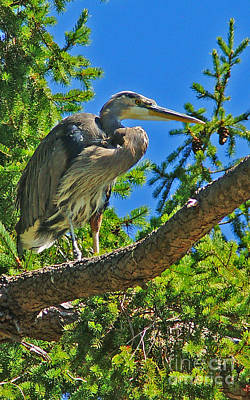 The Who - Perched Blue Heron by Randy Harris