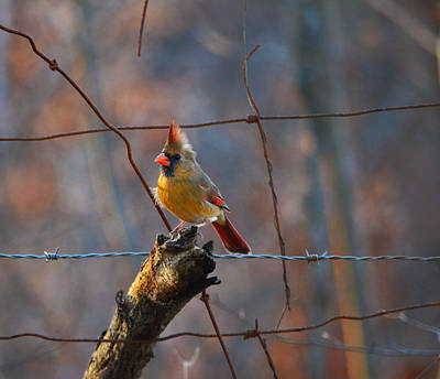 Art Print featuring the photograph Perched Cardinal by Brian Stevens