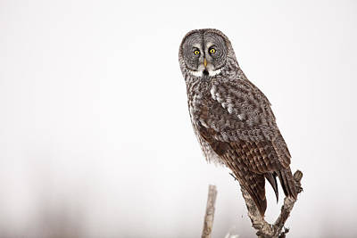 Hunting Owl Photograph - Perched Great Gray Owl by Tim Grams