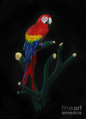 Macaw Painting - Perched Macaw by Peter Piatt