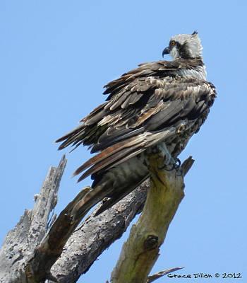 Photograph - Perching Osprey by Grace Dillon