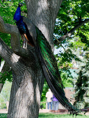 Photograph - Perching Peacock by John Burns