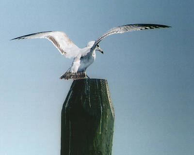 Photograph - Perching Seagull by Barry Doherty