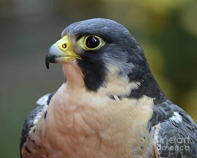 Photograph - Peregrine Falcon by Craig Leaper