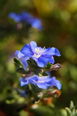 Perennial Blue Flower Art Print