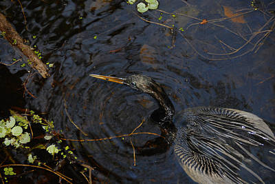 Anhinga Photograph - Perfect Catch by David Lee Thompson