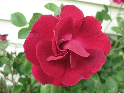 Art Print featuring the photograph Perfect Red Rose by Judy Via-Wolff