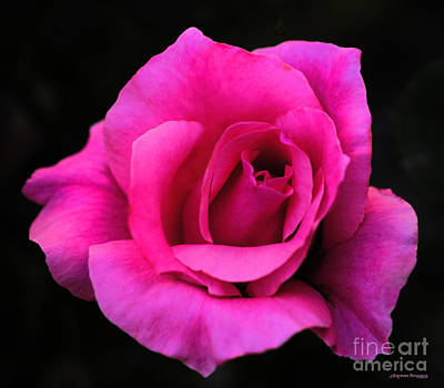 Photograph - Perfect Rose by Clayton Bruster