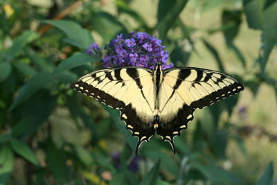 Perfectly Aligned Butterfly On Butterfly Bush Art Print by Bonnie Boden