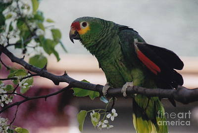 Photograph - Perfectly Posed Parrott by Barbara Plattenburg