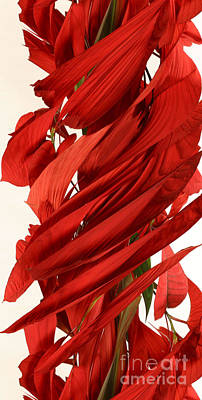 Peripheral Streak Image Of A Poinsettia Art Print by Ted Kinsman