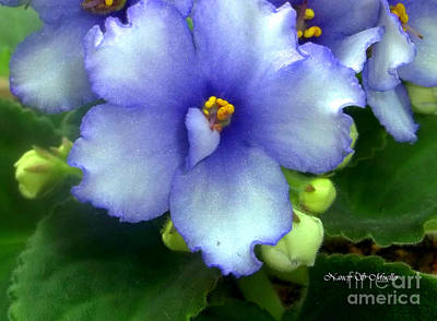 Houseplant Digital Art - Periwinkle African Violet by Nancy Mueller