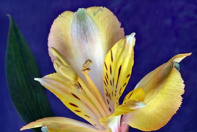 Peruvian Lily Original