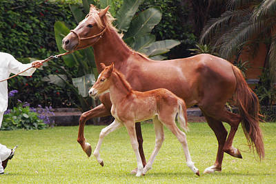 Photograph - Peruvian Paso With Foal by Harvey Barrison
