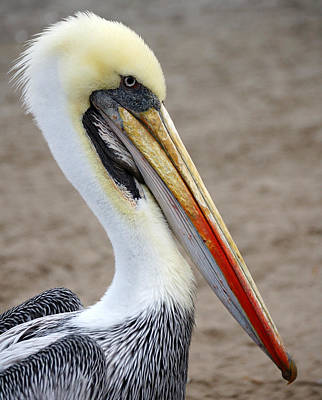 Photograph - Peruvian Pelican by RicardMN Photography