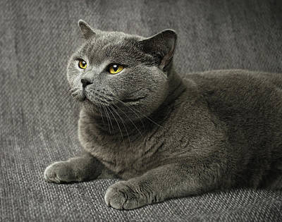 Pet Portrait Of British Shorthair Cat Art Print by Nancy Branston
