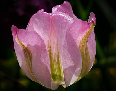 Backlit Tulip Photograph - Pink Backlit Tulip by Jean Noren