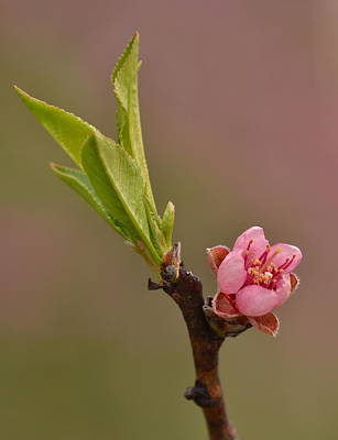 Photograph - Petite Peach by JD Grimes