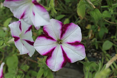 Photograph - Petunias by Lawrence Scott