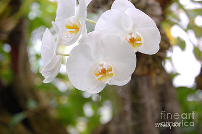 Phalaenopsis Aphrodite Moon Orchid Art Print