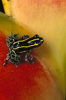 Photograph - Phantasmal Poison Dart Frog by Mark Moffett