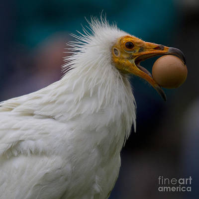 Vulture Photograph - Pharaos Chicken  by Heiko Koehrer-Wagner