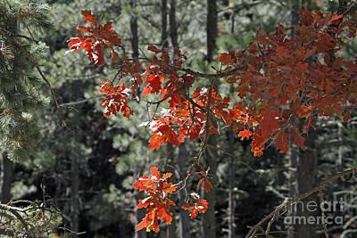 Photograph - Philadelphia Canyon Oak by Shawn Naranjo