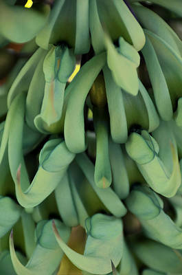 Photograph - Philippine Jade Vine by Paul Plaine