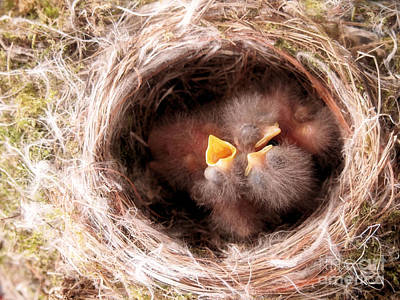 Phoebe Babies In Nest Art Print by Angie Rea