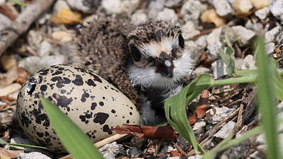 Killdeer Baby - Photo 25 Art Print