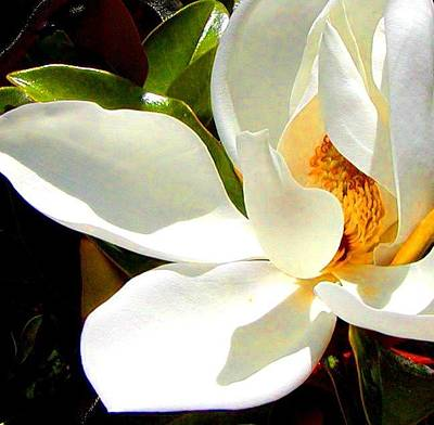 Photograph - Photo For Sydneys Magnolia Painting by Roena King