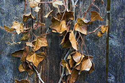 Photograph Of Some Dead Leaves And Vines Hanging On A Wooden Fence Art Print
