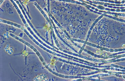 Phytoplankton, Lm Art Print by M. I. Walker