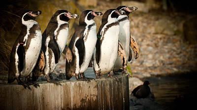 Photograph - Pick Up A Penguin by Chris Boulton