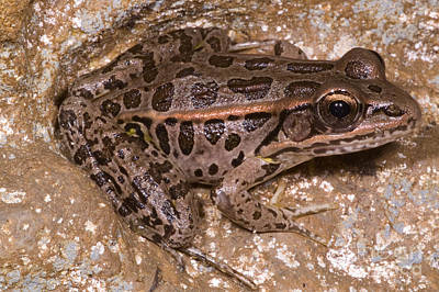 Pickerel Photograph - Pickerel Frog by Dante Fenolio