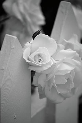 Picket Fence Flowers Photograph - Picket Rose by Peter Tellone
