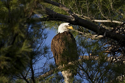 Picture Perfect Bald Eagle Art Print by Joe Gee