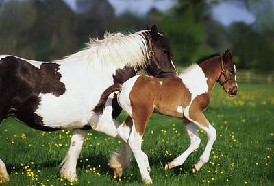 Piebald Mare And Foal Art Print by The Irish Image Collection