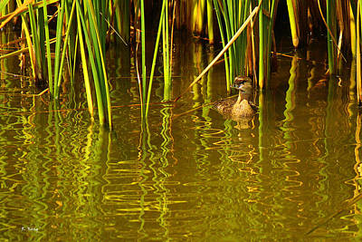 Photograph - Pied-billed Grebe Near The Reeds by Roena King