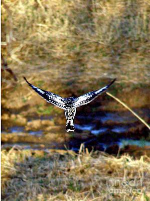 Pied Kingfisher In Flight Art Print by Louise Peardon