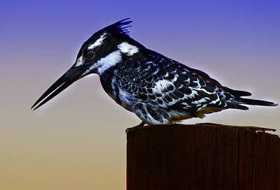 Rustenburg Photograph - Pied Kingfisher by Ronel Broderick