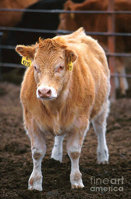 Piedmontese-hereford Crossbred Calf Art Print by Science Source