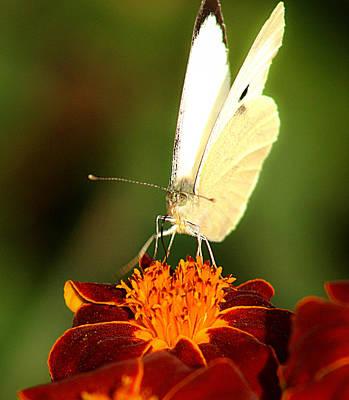 Photograph - Pieris Brassicae by Emanuel Tanjala