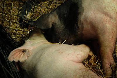 Photograph - Pig Love by Rebecca Sherman