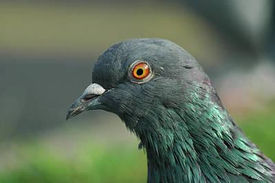 Photograph - Pigeon Headshot by Rafael Figueroa